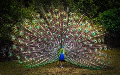Today's Peacock Is Tomorrow's Feather Duster